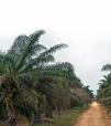 Panorama desalentador para la palma africana.