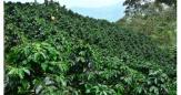 El café orgánico se toma la Sierra